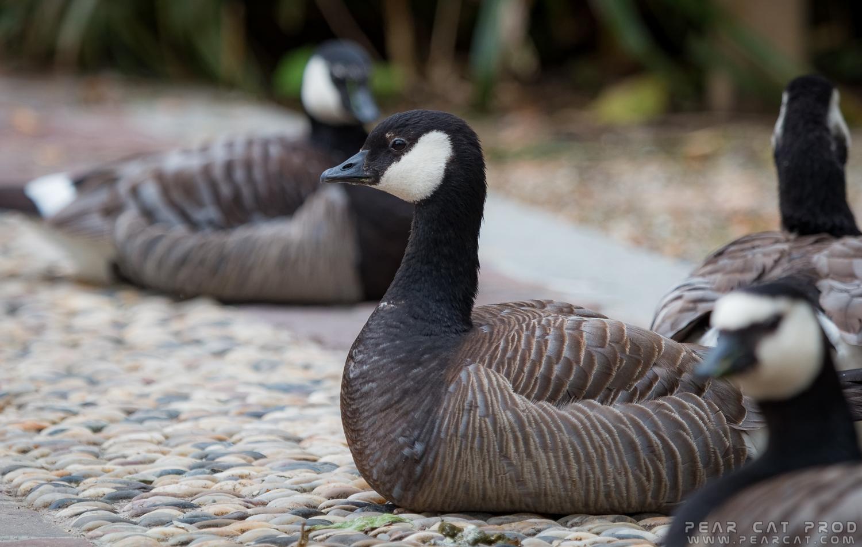 canada goose wikipedia français