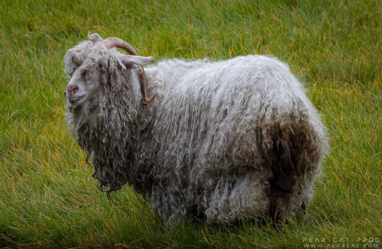 Chèvre angora - La faune de Pairi Daiza b466cde7aa5